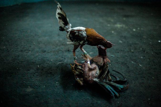 Gallos, 2015 ©Céline Croze courtesy galerie Sit Down
